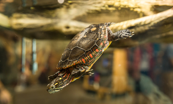 Painted Turtle at the Montshire Museum of Science.